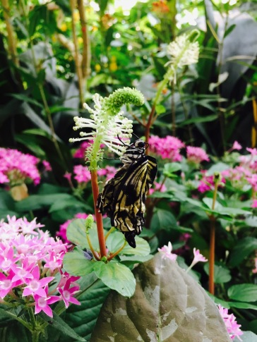 A newly emerged butterfly, waiting for it's wings to unfold.